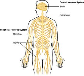 1201 Overview of Nervous System.jpg