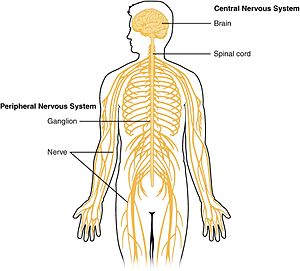 Central nervous system wikipedia 1201 overview of nervous systemg schematic ccuart Gallery