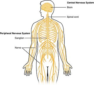 Central nervous system main information-processing organs of the nervous system, consisting of the brain, spinal cord, and meninges