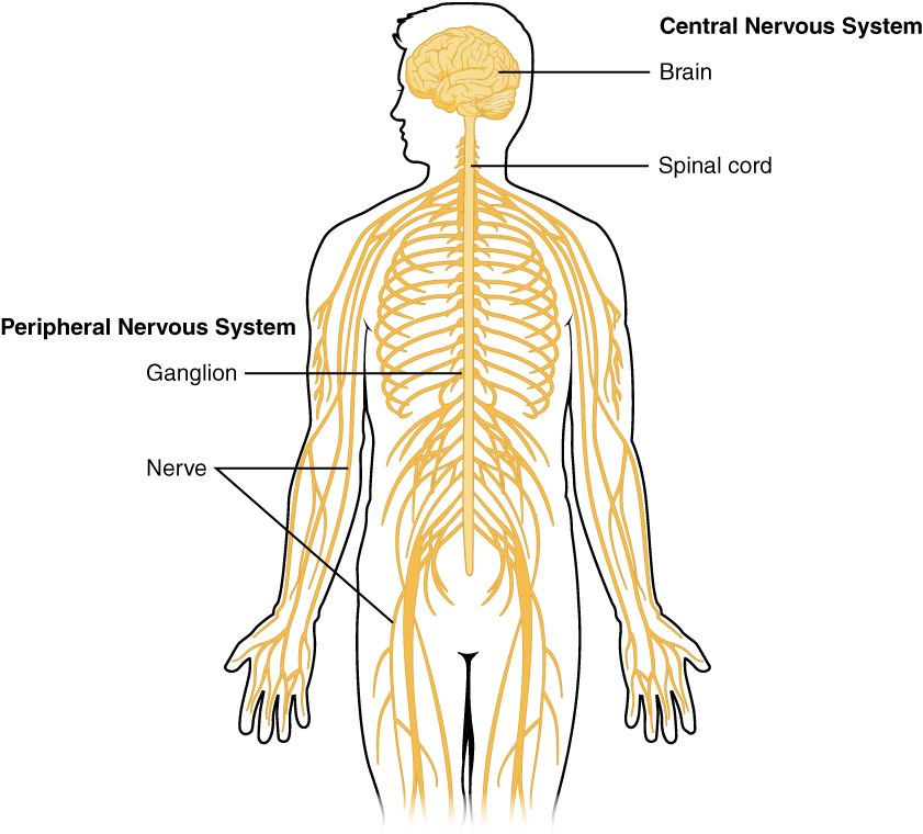 1201 Overview of Nervous System
