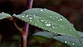 154 365 Perlas tras la lluvia (5794622150).jpg