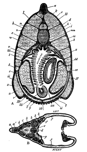 1911 encyclopdia britannicaamphioxus wikisource the free transverse sections of amphioxus from lankester a section through region of atrio coelomic canals v b section in front of mouth the right and left ccuart Choice Image