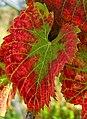 2006-10-22Vitis vinifera02.jpg