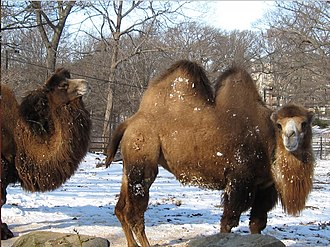 Franklin Park Zoo - Image: 2009 Franklin Park Zoo camels Boston