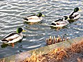 20110125 Ducks in pond of Raadhuis Hilversum. 01.JPG