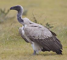 2012-white-backed-vulture.jpg