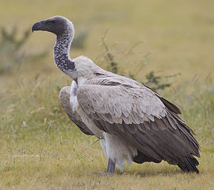 White-backed vulture - Adult in Etosha National Park, Namibia