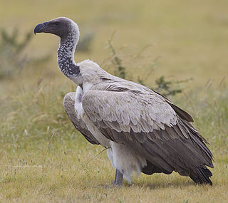 White-backed vulture species of bird