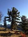 2013-09-16 07 40 07 Large Whitebark Pine at about 9280 feet along the Island Lake Trail in Lamoille Canyon, Nevada.jpg