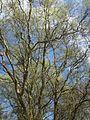 20130413Korkenzieherweide Hockenheim2.jpg
