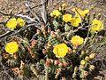 2014-06-15 16 04 42 Prickly Pear Cactus blossums in Elko, Nevada.JPG