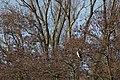 20140202 019 Kessel Weerdbeemden Aalscholver, Great Cormorant, Kormoran, Phalacrocorax carbo (12274580136).jpg