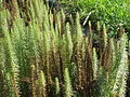 20151024Hippuris vulgaris3.jpg