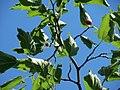 20160720Morus nigra4.jpg