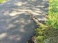 2017-09-05 11 47 48 Roots of a large Pin Oak causing a driveway to buckle along Terrace Boulevard near Walton Avenue in Ewing Township, Mercer County, New Jersey.jpg