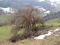 2018-01-28 (182) Tree at way to Gölsnitzgraben directory Schwerbach in Kirchberg an der Pielach.jpg