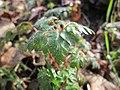 20180218Geranium robertianum1.jpg