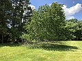 2019-05-31 12 48 42 A Cherry tree broken during a storm, with all the lower leaves having been eaten by deer, along a walking path in the Franklin Glen section of Chantilly, Fairfax County, Virginia.jpg