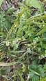 20190417 - Valerianella locusta (Canet-en-Roussillon) - 1.jpg