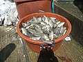3023Unloading of the catch of the day from Bangka in Hagonoy Fish Port 42.jpg