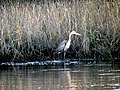 46 Great Blue Heron Bennetts Point RD Green Pond SC 6874 (12397978213).jpg