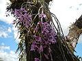 5604Camachile Doña Remedios Trinidad Orchids Bulacanfvf 08.JPG