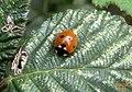7-spot ladybird (RL) (5636964315).jpg