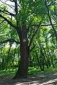 80-361-5045 Kyiv Totleben Oak SAM 0245.jpg