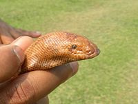 Eryx Johnii Wikipedia Play slither.io, snake.is mlg edition, paper.io and many more for free on poki. eryx johnii wikipedia