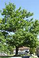 AB ND20 Quercus.jpg