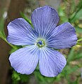 A Common Flax or Linseed (Linum usitatissimum) flower. Chapeltoun North Ayrshire.jpg