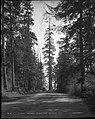 A Noble Driveway, Stanley Park, Vancouver, B.C. (14005568931).jpg