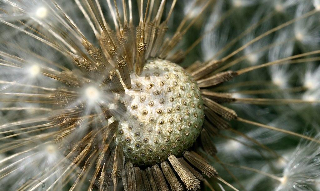 A Taraxacum Ruderalia dandelion clock.jpg