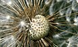 Macroshot of a Taraxacum sect. Ruderalia mature blowball or clock containing many single-seeded fruits called achenes.