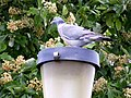 A Wood Pigeon at Lossiemouth - geograph.org.uk - 1323813.jpg