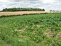 A crop of sugar beet - geograph.org.uk - 1410216.jpg