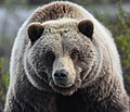 A female grizzly bear (b39efcaa-f415-41f8-9269-ce4b5aed129b).jpg