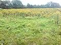 A field of Ragwort - geograph.org.uk - 925814.jpg