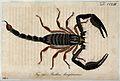 A large scorpion; Buthus longimanus. Coloured engraving. Wellcome V0022415.jpg