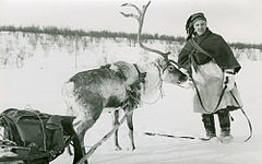 A man holds a reindeer with a sled. Winter, Finnmarksvidda.jpg