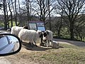 A woolly welcome to Goathland Estate^ - geograph.org.uk - 1215702.jpg