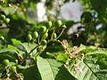 Ab plant 1715.jpg