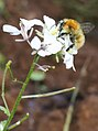 Abeja - ¿Anthophora plumipes? 05 (2975267689).jpg