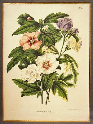 Abraham Jacobus Wendel - Hibiscus syriacus L. by A.J. Wendel