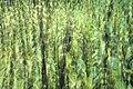 Abstrakt brennesle i Stysjin17-09-19.jpg