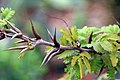 Acacia cornigera 0zz.jpg