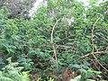 Acacia melanoxylon (Seedling) 2.jpg