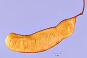 Acacia roemeriana 01nsh.jpg