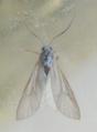 Acentria ephemerella 2.png