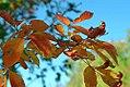 Acer cissifolium henryi 4zz.jpg